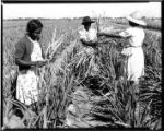 Women harvesting budding gladiolus in A & W Bulb Company field: Fort Myers, Fla.